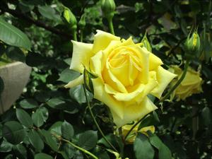 バラ黄.jpg